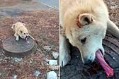 俄狗狗舔结冰井盖舌头被黏住 获好心人相救