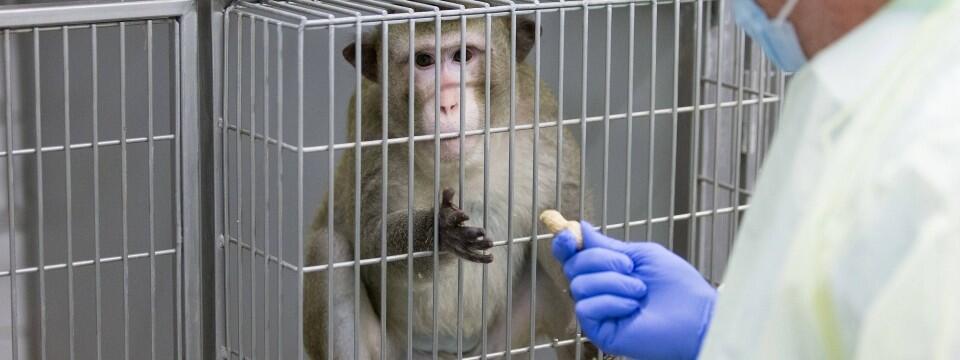 10只中国猴子悲惨经历曝光,牵出德企大丑闻!大众、宝马、戴姆勒均卷入!