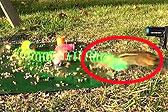 美松鼠为争食物用弹簧玩具弹飞花栗鼠