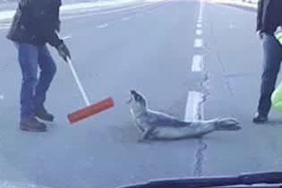暖心!路人合力助受困公路小海豹重返水中