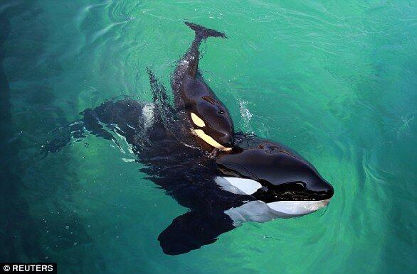 """法国虎鲸会说""""人话""""  会打招呼还能数数"""
