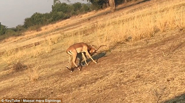 黄雀在后!肯尼亚花豹费力猎杀羚羊却被鬣狗抢走