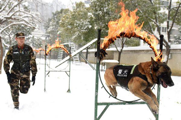 汪星人也有冬训 神犬奇兵雪地突击