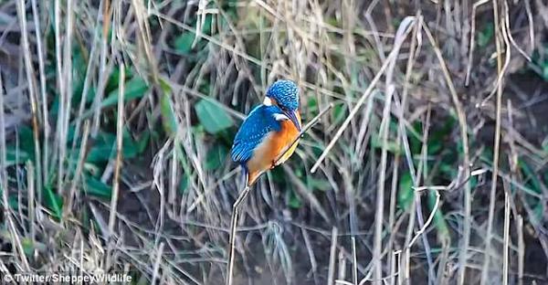 英国沼泽现诡异一幕:翠鸟脑袋不动身子动