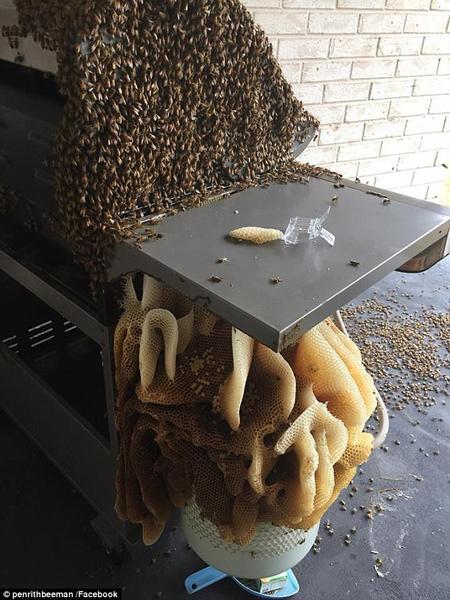 澳居民离家4月数千蜜蜂在家中烧烤架上筑巨巢