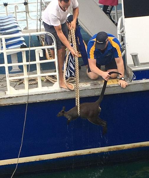 暖心!澳落水小袋鼠获好心船员奋力营救