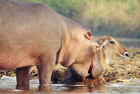 河马较量鳄鱼助水羚脱险