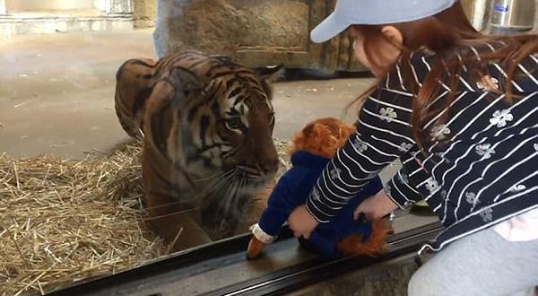 大老虎童心大发隔玻璃抓小女孩手中玩偶