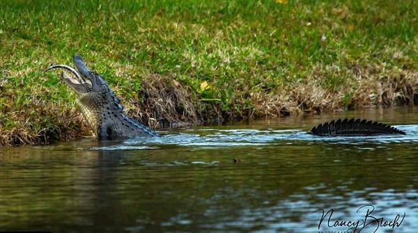 残忍!美成年鳄鱼暴力吞食同类小鳄鱼