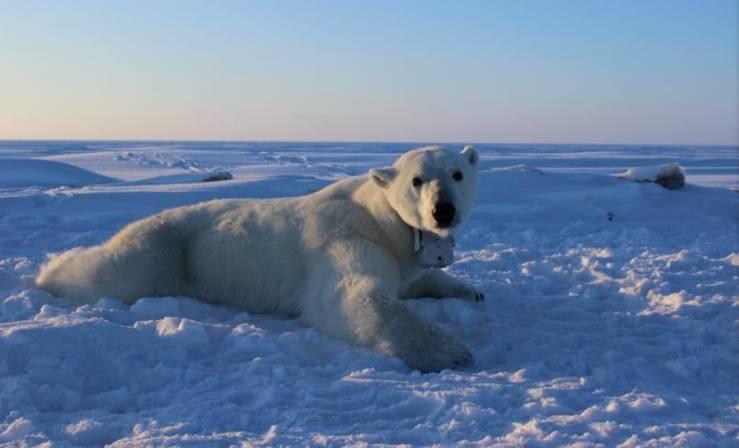 氣候暖化惹禍?北極熊難以捕到獵物致體重下降