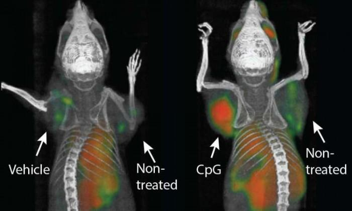 """斯坦福大学医学院研发癌症""""疫苗""""消灭小鼠肿瘤"""