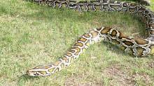 网曝动物园用狗喂蟒蛇 工作人员:私人承包的动物馆所为