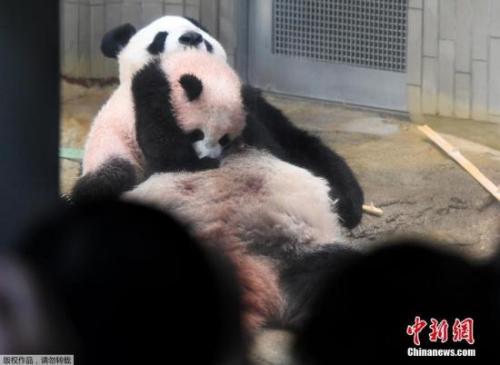 """2017年12月19日,居住在日本东京上野动物园的雌性大熊猫宝宝""""香香""""正式接受公众参观。图为""""香香""""趴在母亲""""真真""""的身上。"""
