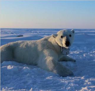 气候暖化惹祸?北极熊难以捕到猎物致体重下降