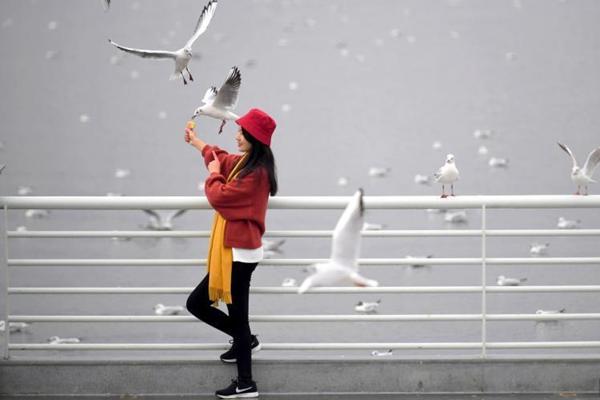 """""""春城""""昆明强降温 红嘴鸥与游人互动"""
