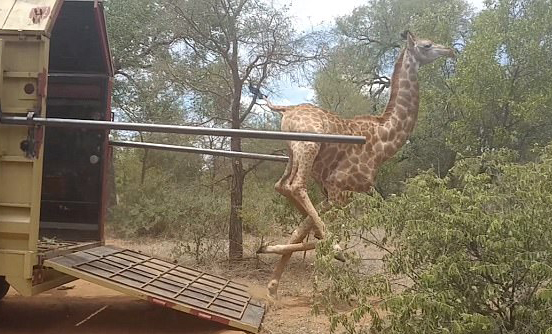 南非长颈鹿重获自由后兴奋过度栽倒在地