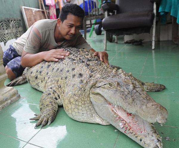 印尼男子养巨鳄当宠物20余年 视其如家人