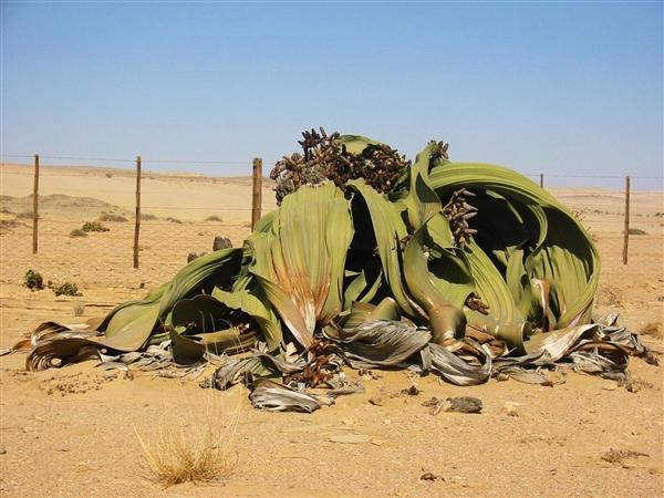 要成精 非洲沙漠中的千岁兰能活1000年