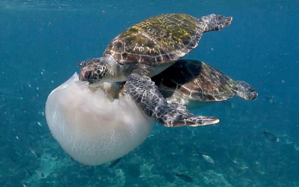 饕餮盛宴!澳三只绿毛海龟集体啃食水母