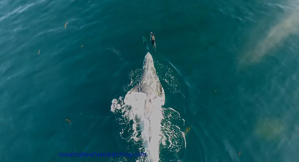 灰鲸迁徙途中与海豚嬉耍玩乐模仿其动作