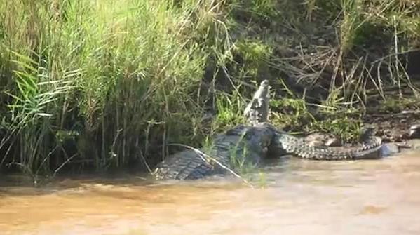 南非公园上演大小鳄鱼互相厮杀 场面震撼