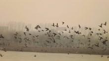 数千飞鸟聚集空中盘旋 黑压压一片遮蔽天空
