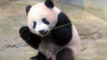 调皮熊猫宝宝撞妈妈 恶作剧成功后飞快逃走
