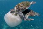 三只绿毛海龟啃食水母