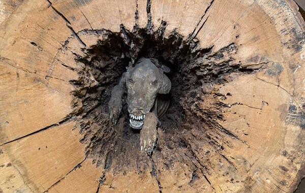 """罕见!美猎犬卡橡树树干20年变""""木乃伊"""""""