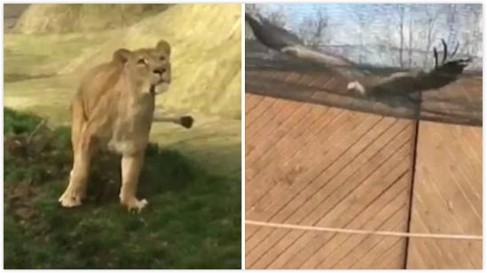 英动物园秃鹫表演时遭母狮袭击 惊吓过度死亡
