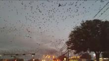 美德克萨斯州万鸟群舞 宛若乌云景象恐怖
