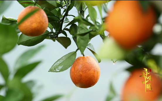 """探寻罗甸美猴橙 《寻味中国》让电商扶贫更有""""橙""""意"""