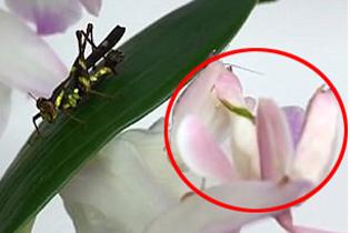 """昆虫""""猎手""""兰花螳螂引关注 粉白相间形似兰花"""