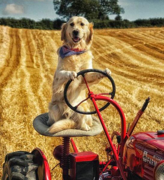 耕地小能手!北爱尔兰一金毛犬会开拖拉机犁地