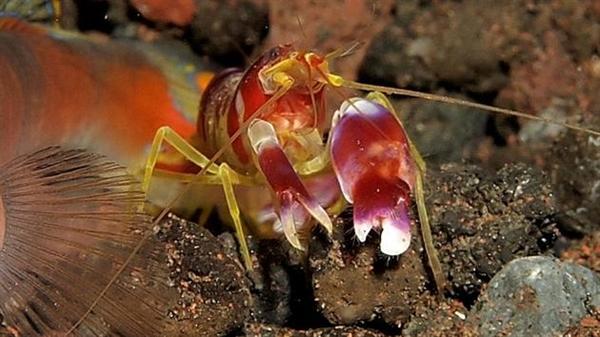 科学家深海发现新动物:能够发射巨大声响的枪虾