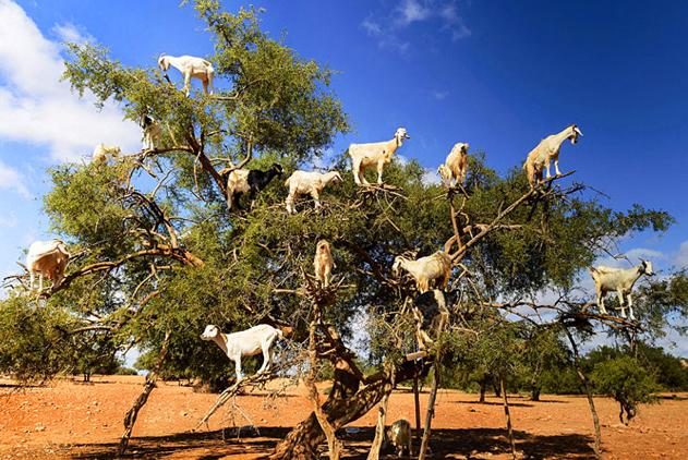 闻所未闻!摩洛哥一坚果树上站满14只山羊