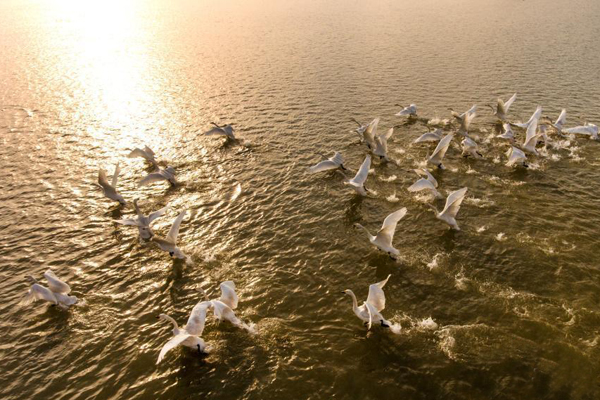 鄱阳湖越冬候鸟水上嬉戏觅食
