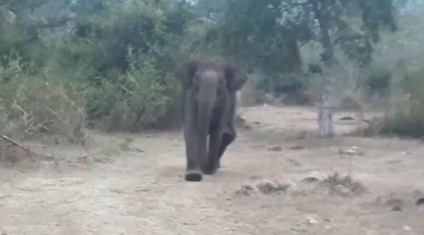 印度大象拒绝管理员接近幼崽尸体将其赶跑