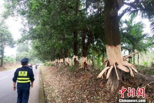 易富彩:海南定安:五名嫌疑人刀剥百余棵树皮被批捕