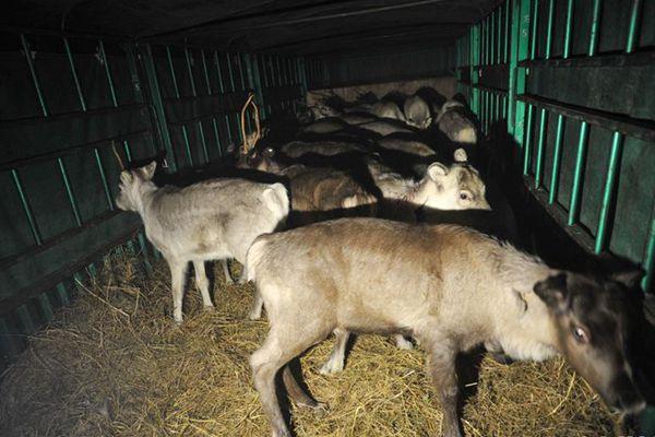 内蒙古从国外成功引进第二批115只活体驯鹿