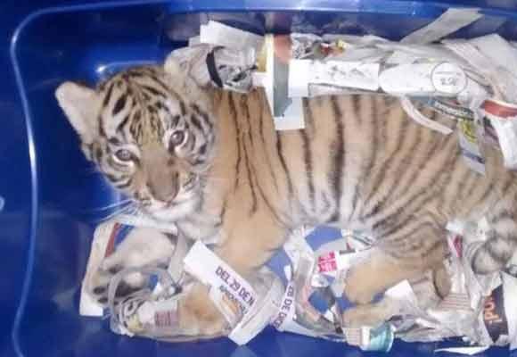 奇葩快递!老虎被封进塑料箱快递