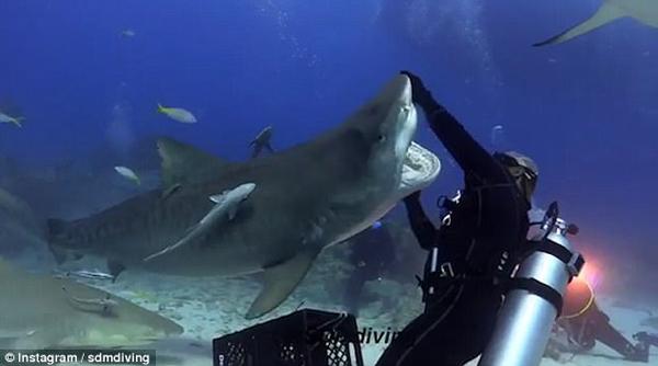 一起摇摆!美国潜水者与虎鲨水下深情共舞
