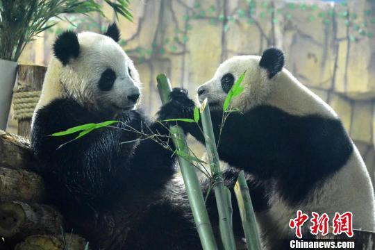 """彩票app排名:龙凤胎大熊猫""""星语""""""""星愿""""空降福建泉州_萌翻古城民众"""