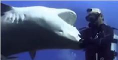 胆大!潜水员捉住700磅虎鲨血盆大口环回转身