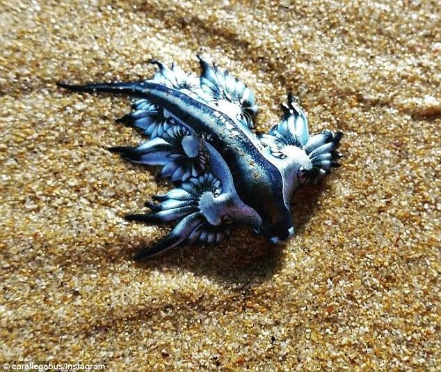 """澳洲海滩惊现奇异""""蓝龙"""" 犹如外星球生物"""