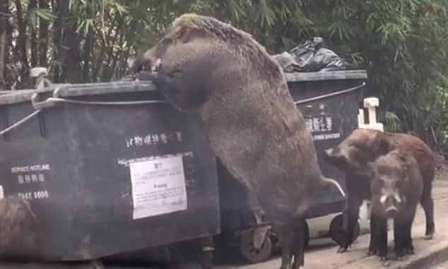 香港街头巨型野猪翻垃圾桶觅食画面引围观