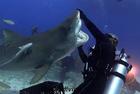 潜水者与虎鲨水下共舞