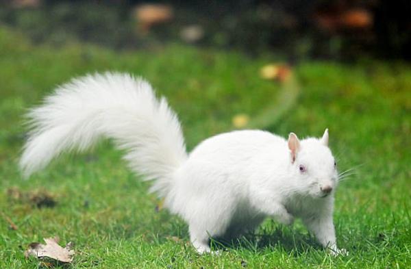 英男子花园发现白松鼠 等两周抓拍萌趣吃食照