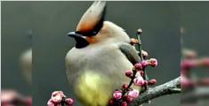 西湖一太平鸟吃撑了瘫在草地上 网友:春节时的我