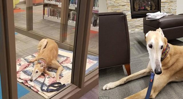 """美治疗犬图书馆苦等儿童朗读者 """"忧郁照""""走红"""